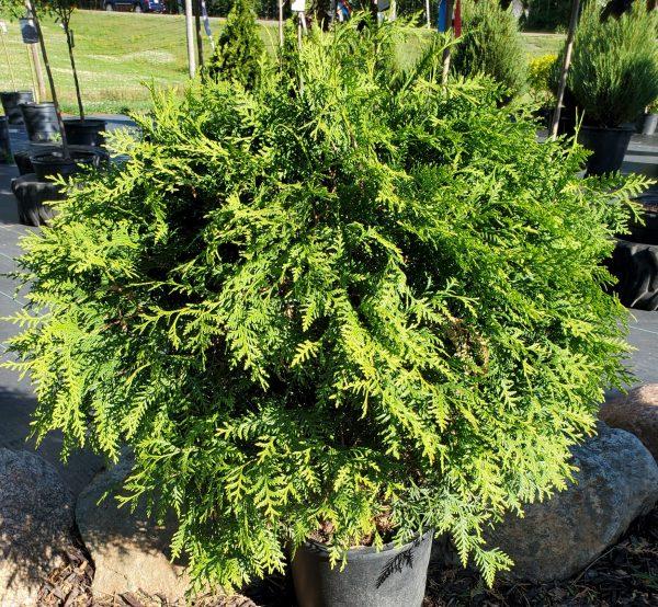 Arborvitae, Woodward Globe 2