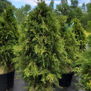 Arborvitae, Nigra Dark Green