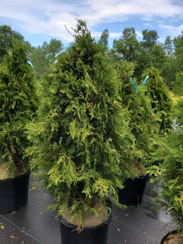 Arborvitae, Nigra Dark Green 3