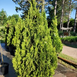 Arborvitae, Holmstrup