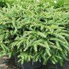 Spruce, Bird's Nest 1