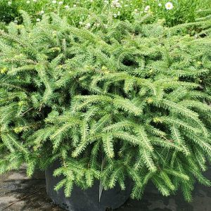 Spruce, Bird's Nest