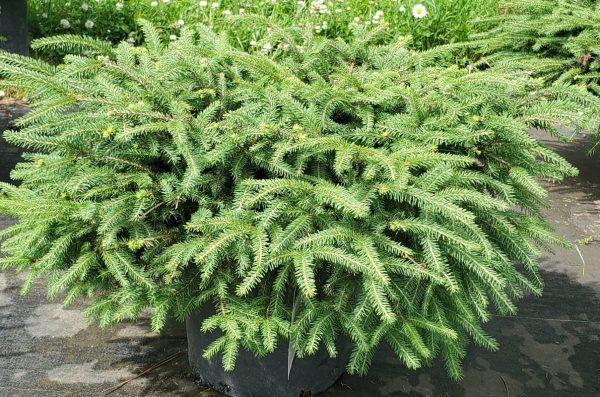 Spruce, Bird's Nest 3
