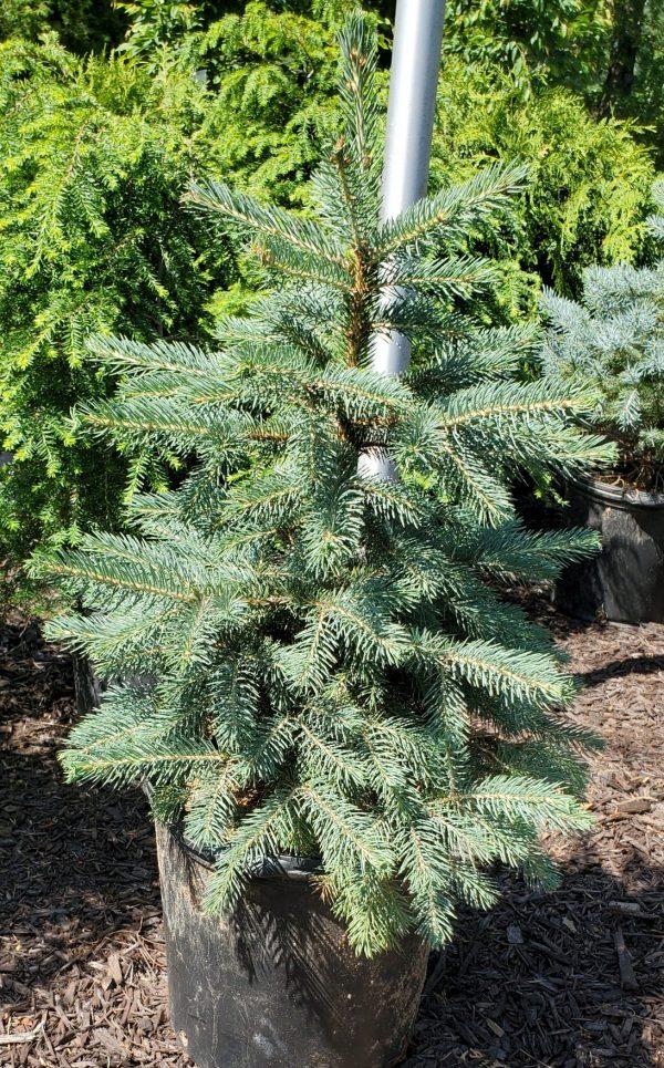 Spruce, Colorado Blue 2
