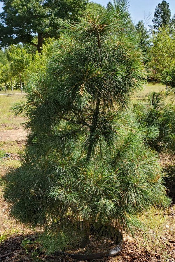Pine, White 3