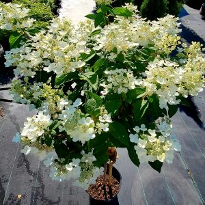 Hydrangea Tree, Quick Fire