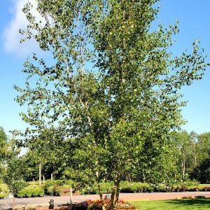 Birch, Whitespire