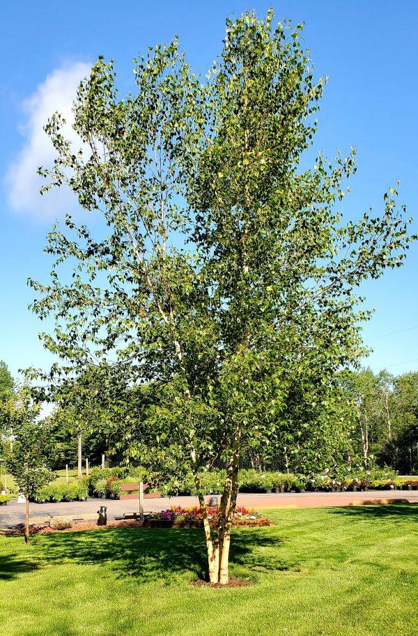 Birch, Whitespire 2