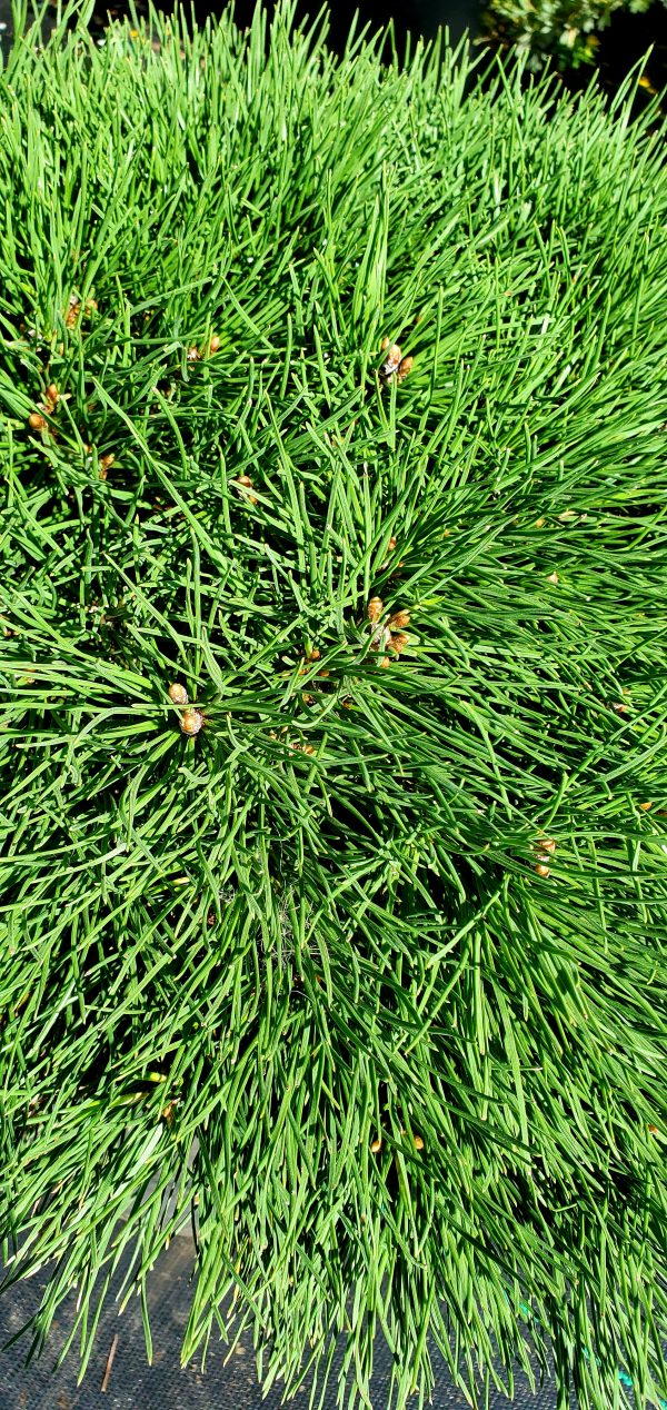 Pine, Dwarf Mugo 2