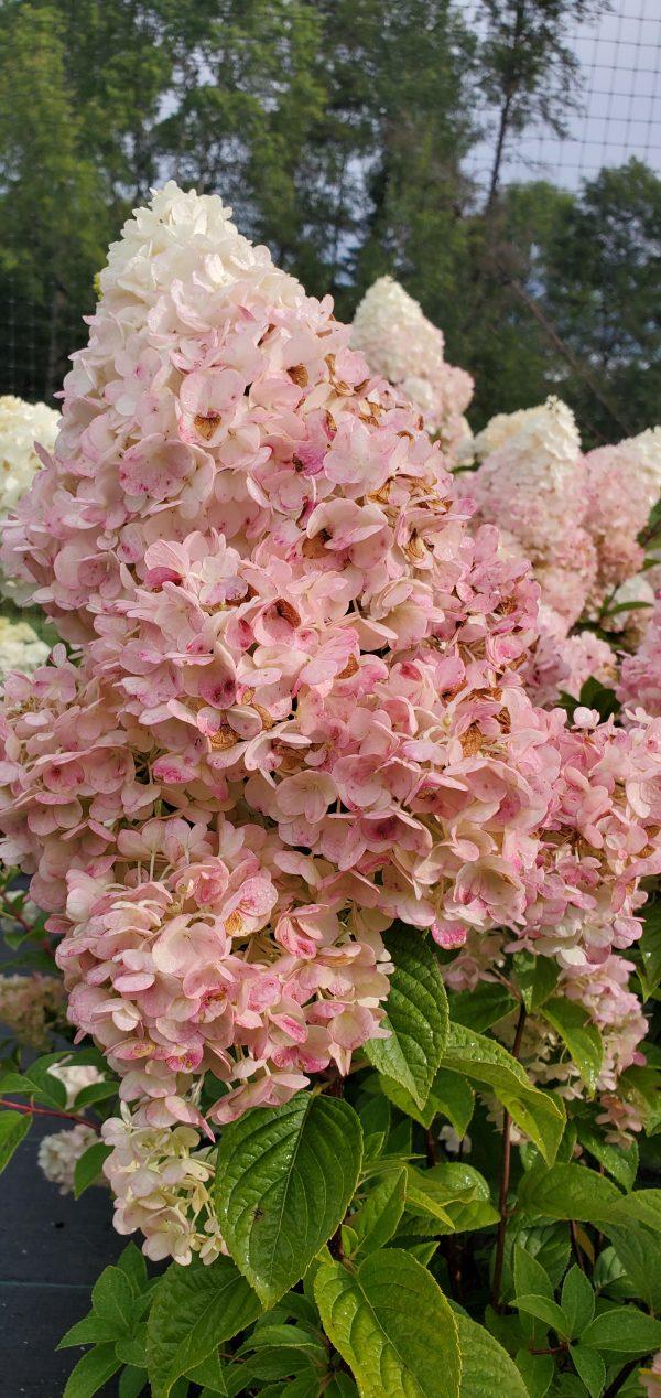 Hydrangea, Strawberry Sundae 3