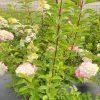 Hydrangea, Berry White 1