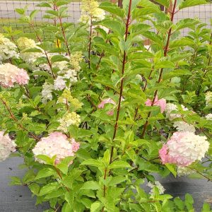 Hydrangea, Berry White