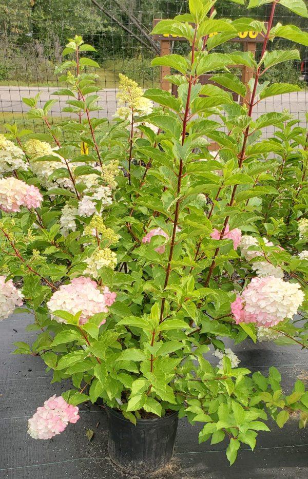 Hydrangea, Berry White 3
