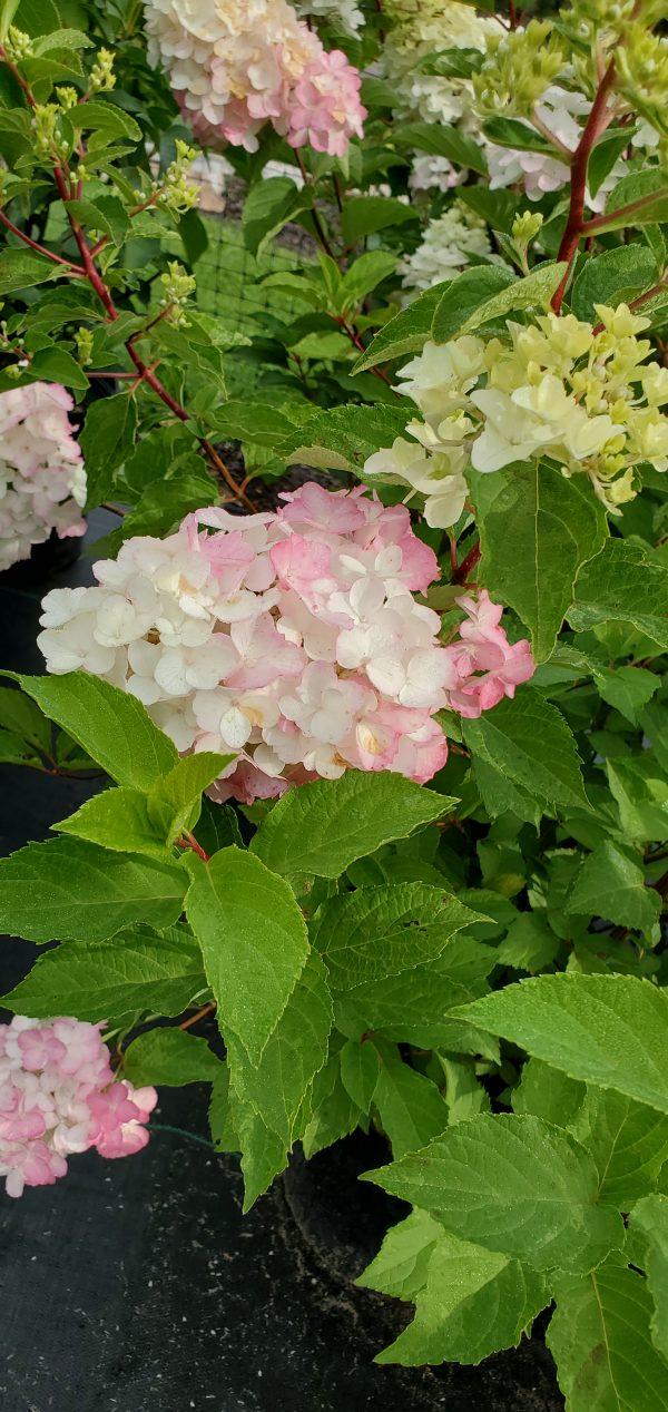 Hydrangea, Berry White 4