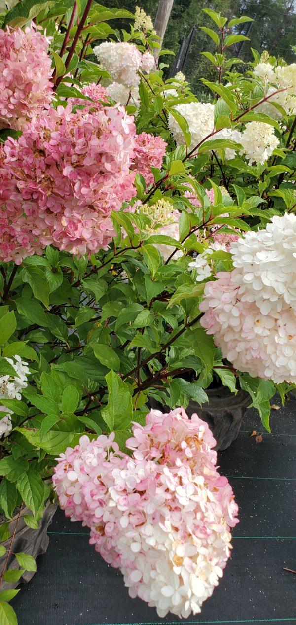 Hydrangea, Vanilla Strawberry 3
