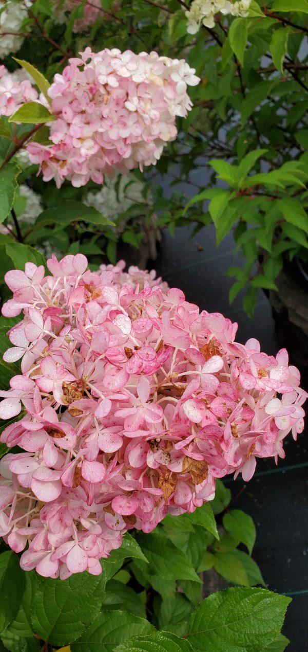 Hydrangea, Vanilla Strawberry 4
