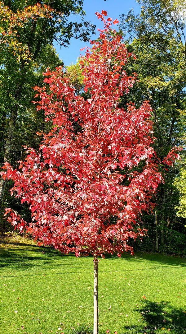 Maple, Autumn Blaze 3