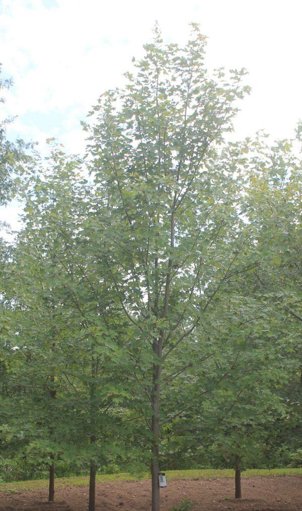 Maple, Autumn Blaze 1