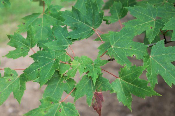 Maple, Autumn Blaze 2