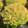 Spirea, Gold Flame 1