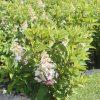 Hydrangea, Pinky Winky 1