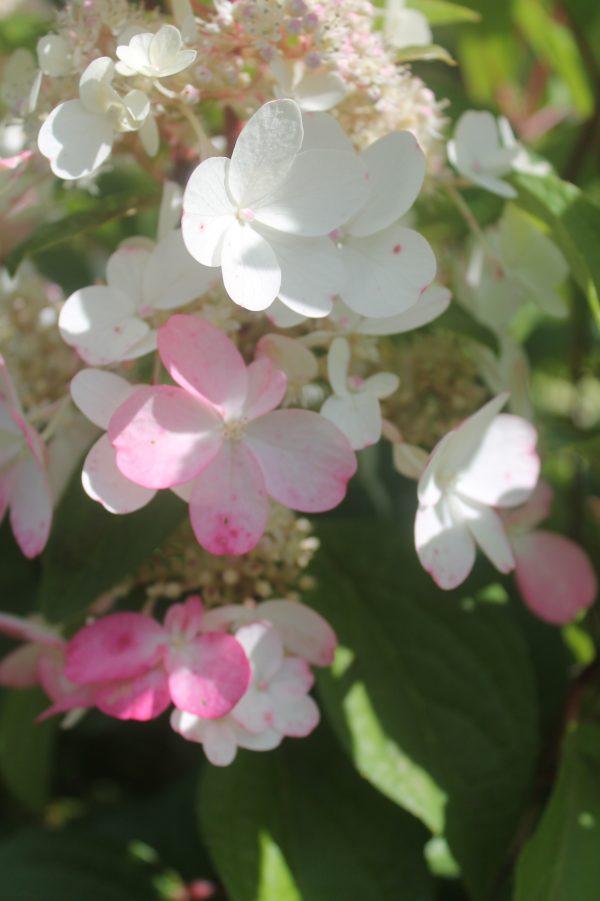 Hydrangea, Pinky Winky 4