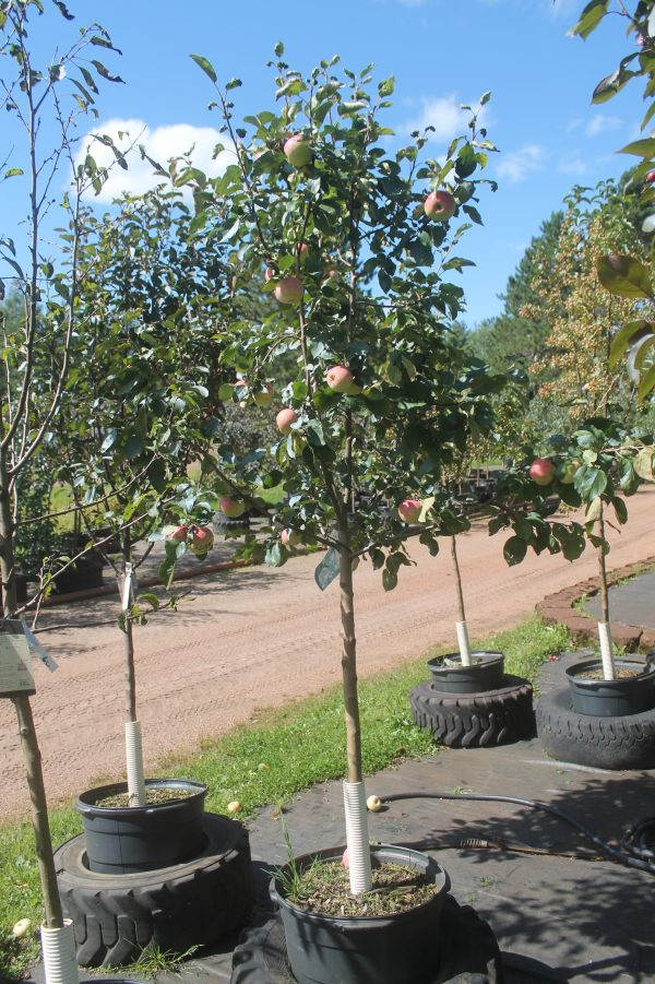 Apple, Goodland 4