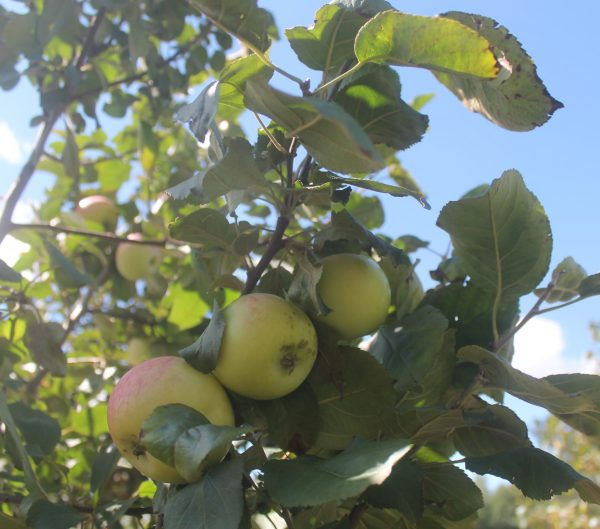 Apple, Goodland 5