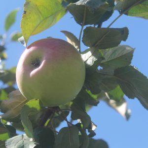 Apple, Goodland