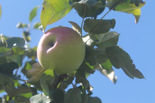 Apple, Goodland 3