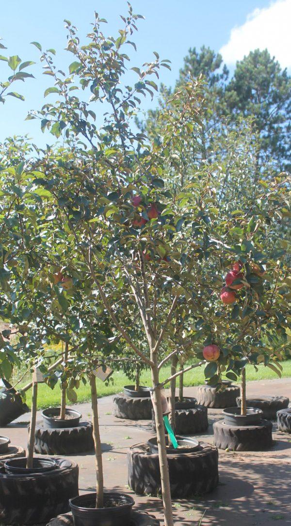 Apple, Hazen 3
