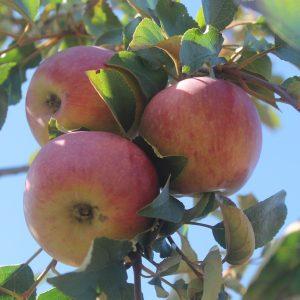Apple, Hazen