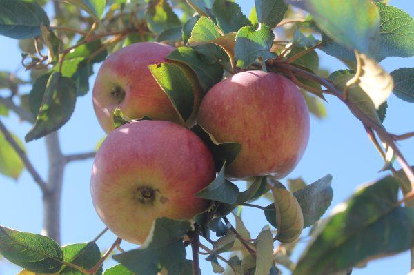Apple, Hazen 2