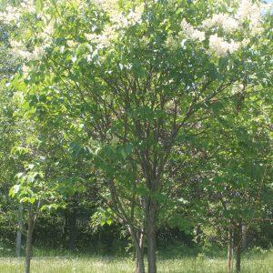 Lilac, Japanese Tree