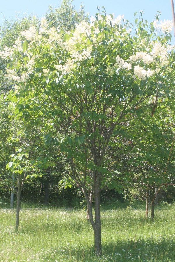 Lilac, Japanese Tree 3