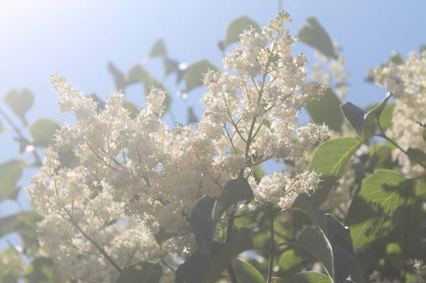 Lilac, Japanese Tree 5