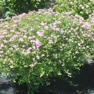 Spirea, Little Princess