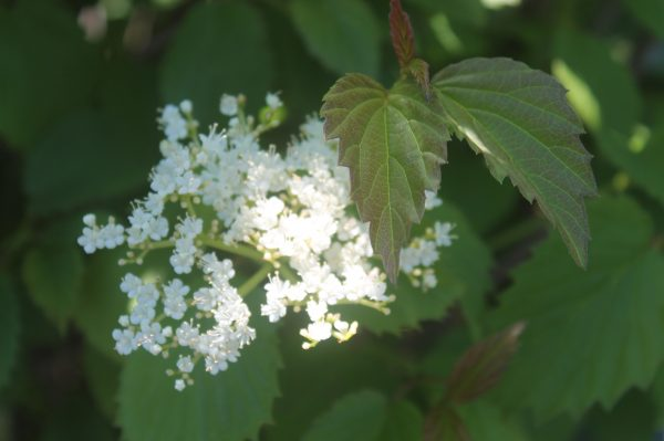 Viburnum, Red Feather 3