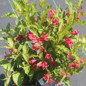 Weigela, Red Prince