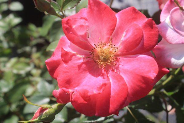 Rose, Campfire 2